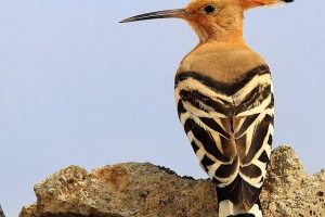 Iran-Bird-Watching-Tours4